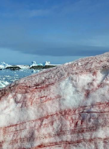 В Антарктиде снег «расцвел» малиновым и розовым цветом