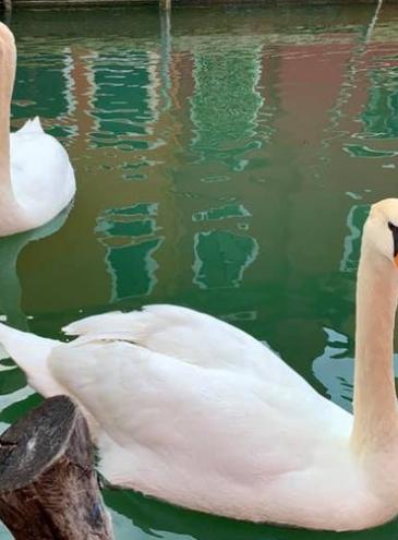 Вода в каналах Венеции стала необычно чистой: вода прозрачная, возвращаются лебеди