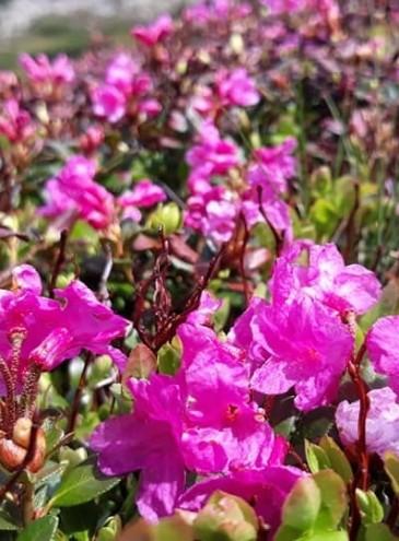 У Карпатах – сезон цвітіння червоної рути: як ще називають цю квітку