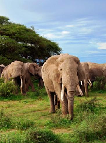Купи слона! В Африке продадут с аукциона 170 гигантских животных