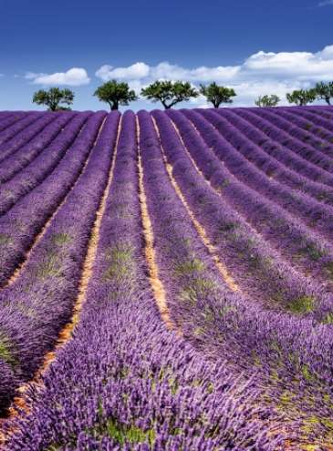 В Украине посадили самое большое поле лаванды