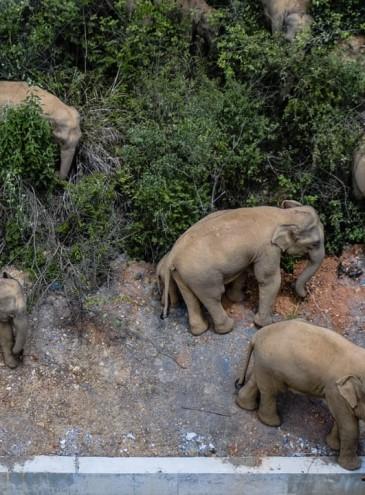 Большой побег: стадо из 15 слонов сбежало из заповедника в Китае, они нанесли ущерб на $1 млн